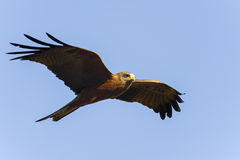 Black kite, tsingy de bemahara Stock Photography