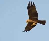 A Black Kite with a twig. Royalty Free Stock Photography