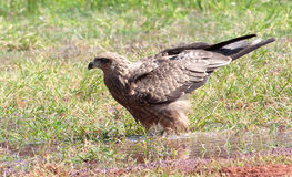 Black kite with wings raised Royalty Free Stock Photography
