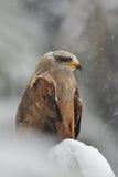 Black Kite in winter Stock Photo