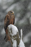 Black Kite in winter Royalty Free Stock Images