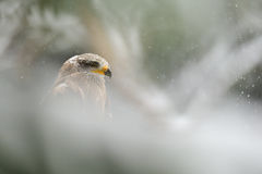 Black Kite in winter Royalty Free Stock Photos