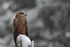 Black Kite in winter Royalty Free Stock Image