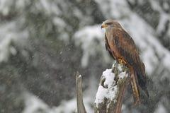 Black Kite in winter Stock Images