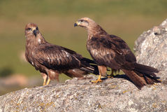 Black kites Royalty Free Stock Images