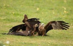 Black Kites Royalty Free Stock Images