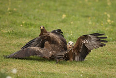 Black Kites Stock Image