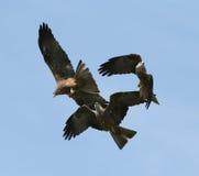 Black Kites Stock Image