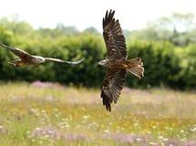 Black Kites Royalty Free Stock Photos