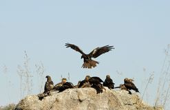 black kites perched on a rock Stock Photography