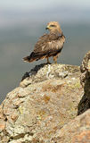 Black kites Royalty Free Stock Photos
