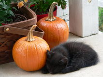 Black Kitten. With Pumpkins stock photo