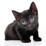 Black kitten. On white background royalty free stock photography