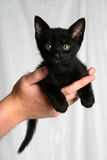 Black kitten. Held by man on white background Royalty Free Stock Images