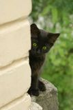 Black kitten. Little playfull black kitten look out from the wall Royalty Free Stock Photo