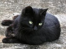 Black Kitten. A Black kitten royalty free stock image