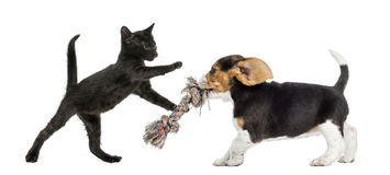 Black kitten and Beagle puppy playing Royalty Free Stock Photos
