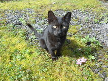 Black Kitten on Big Island, Hawaii. Stock Images