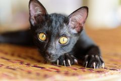 Black kitten with claw and scratch on the mat. Animal and pet Royalty Free Stock Image