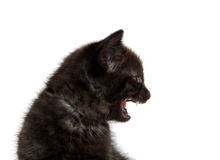 Black kitten crying Stock Photo