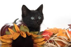 Black kitten and fall decorations Royalty Free Stock Image