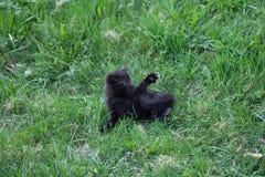 Black kitten fighting Stock Image