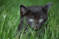 Black kitten in the grass. A small black kitten in the grass Stock Photo