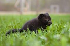 Black kitten in the grass Stock Images