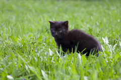 Black kitten in the grass Royalty Free Stock Photo