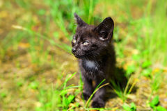 Black kitten in the green grass. Field royalty free stock photo