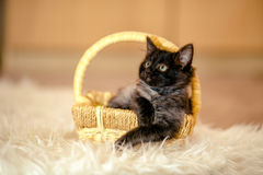 Black kitten important collapsed in a wicker basket. age 1 month Royalty Free Stock Photography