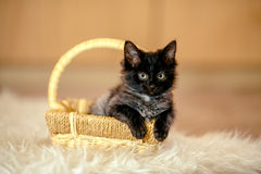 Black kitten important sits in the cart and looks aside. Age 1 m Royalty Free Stock Images