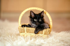 Black kitten important sits in the cart and looks away. Age 1 mo Stock Image