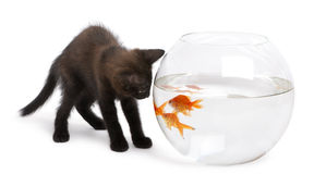 Black kitten looking at Goldfish Royalty Free Stock Photo