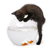 Black kitten looking at Goldfish Royalty Free Stock Photography