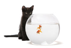Black kitten looking at Goldfish Stock Images