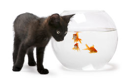 Black kitten looking at Goldfish Stock Photo