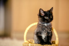 Black kitten looks out of the basket. age 1 month Stock Photo