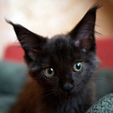 Black kitten maine coon Royalty Free Stock Images