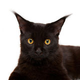 Black kitten maine coon Royalty Free Stock Image