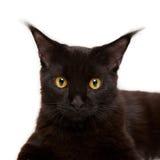 Black kitten maine coon Royalty Free Stock Image