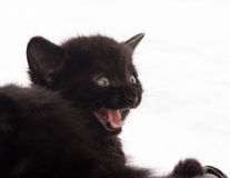 Black Kitten meowing Royalty Free Stock Photo