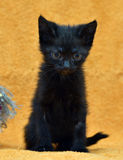 Black kitten on an orange Royalty Free Stock Images