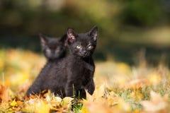 Black kitten outdoors in autumn Stock Images