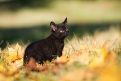Black kitten outdoors in autumn Stock Photos