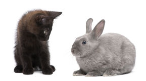 Black kitten playing with rabbit Royalty Free Stock Photography