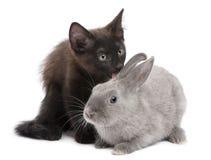 Black kitten playing with rabbit stock photo