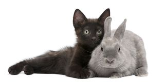 Free Black Kitten Playing With Rabbit In Front Of White Background Stock Photo - 129911280