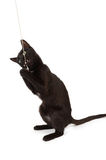 Black kitten. A black kitten plays with a rope stock photography