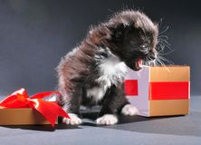Black kitten from present holiday box Stock Image